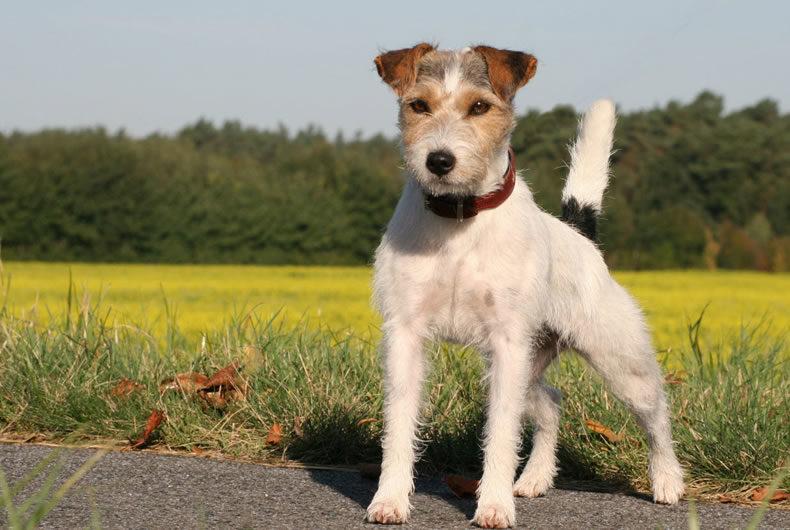 Il Parson Russel Terrier