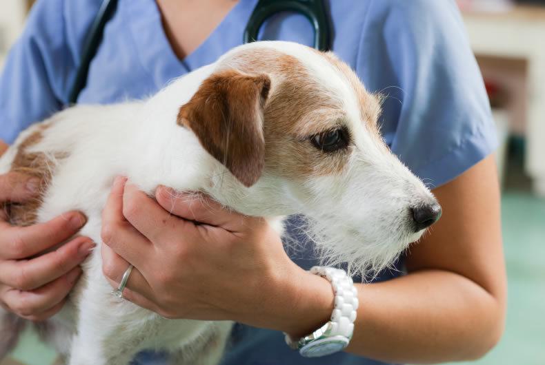 La Leishmaniosi Del Cane: Cos'è E Come Prevenirla?