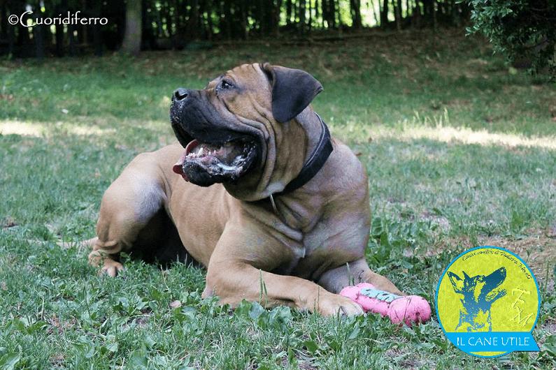 Il Cane Corso